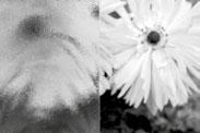 chinchilla braun